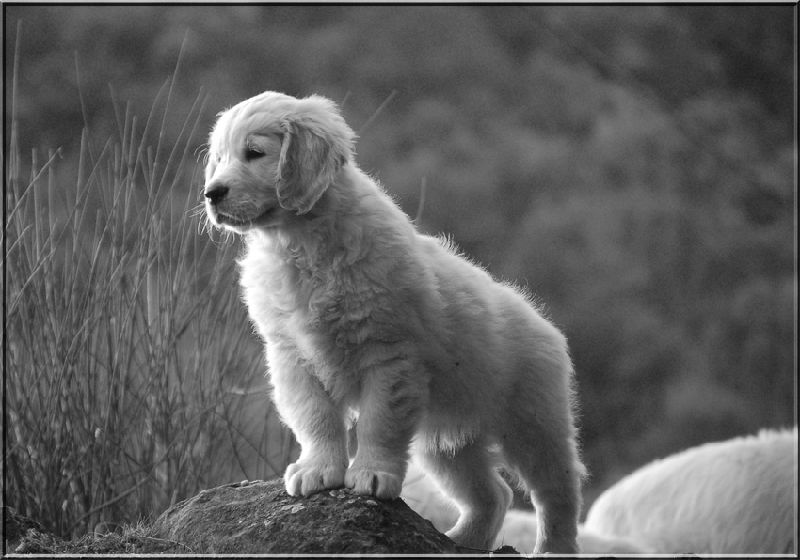golden cachorro lenda moura B X K