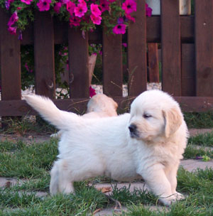 golden retriever bxi 3