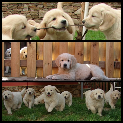 Golden Retriever LM cachorros mosaico