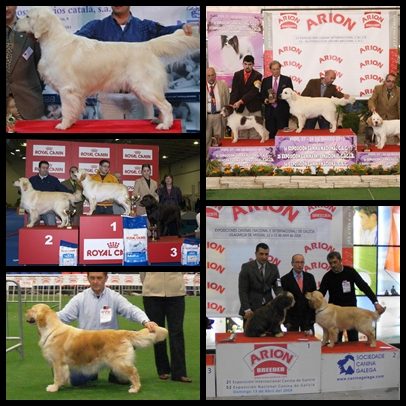 Golden Retriever LM Exp. Mosaico