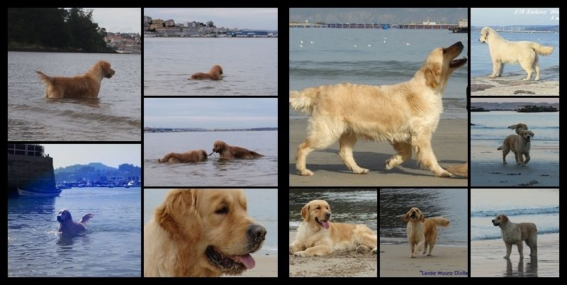 Golden retriever LM mosaico 1
