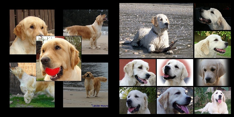Golden Retriever LM mosaico 2