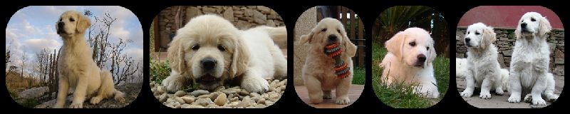 golden retriever LM