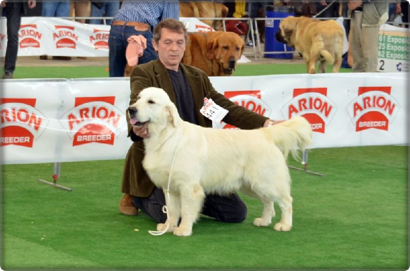 Golden Retriever Thevenet Piquenbauer