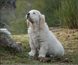 golden retriever cachorros b x k 7