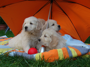 golden retriever cachorros b x k 9