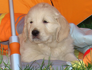 golden retriever cachorros b x k 10